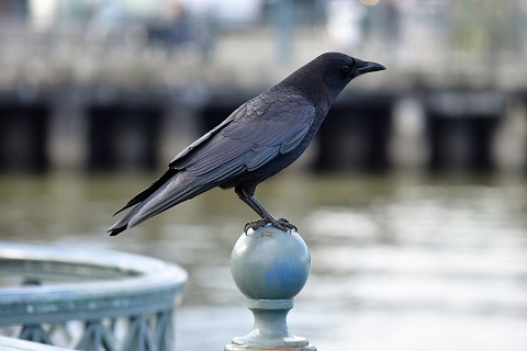Image of a crow