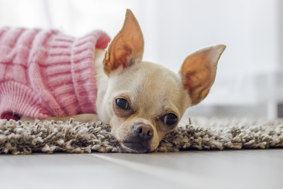 Image of a chihuahua