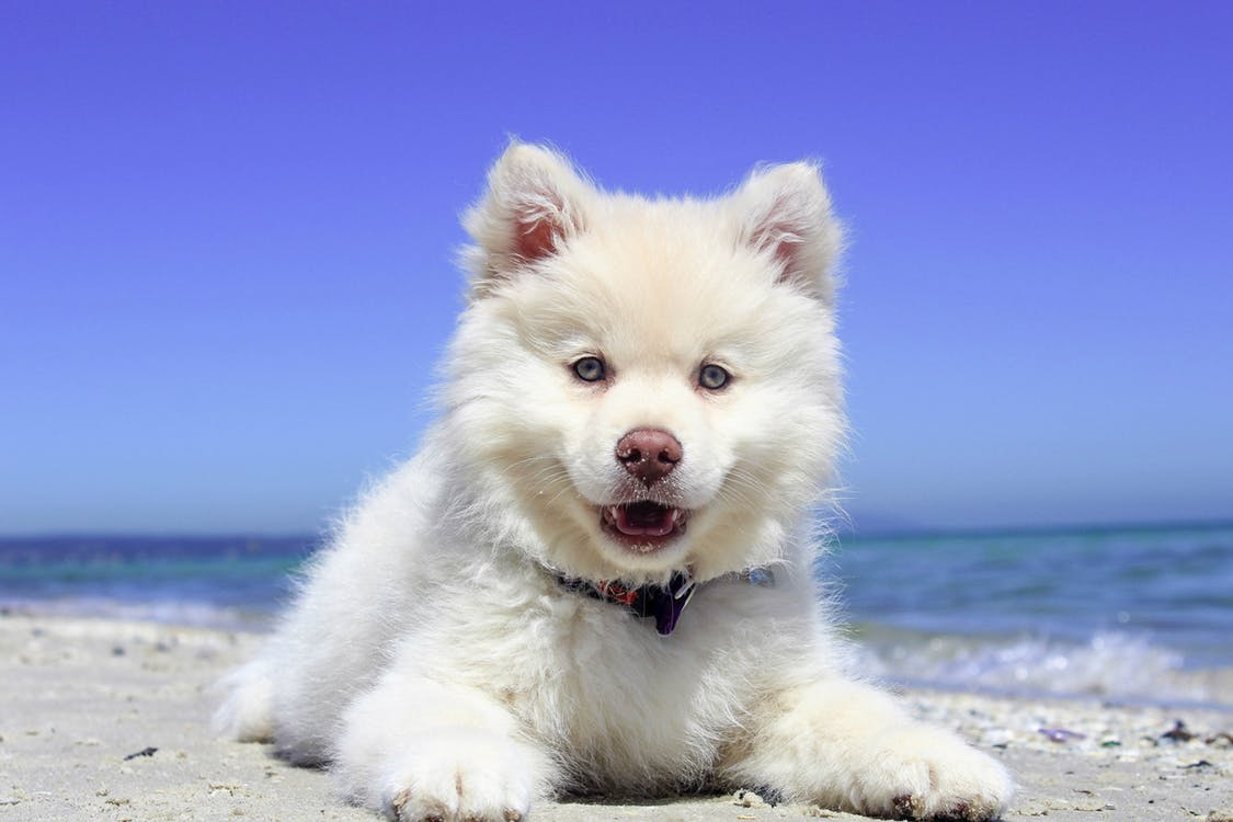 A white fluffy dog sitting on a sandy beach.