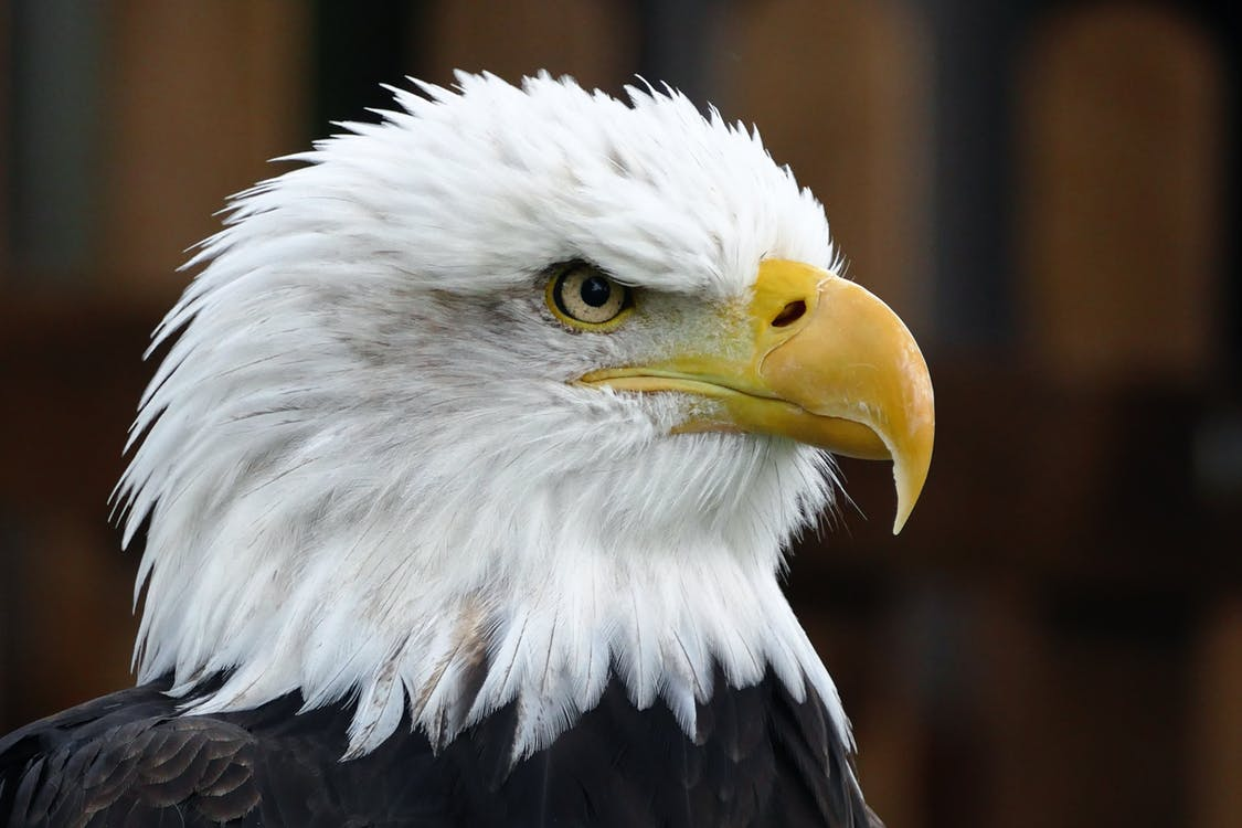 An American Eagle - close up of its head.
