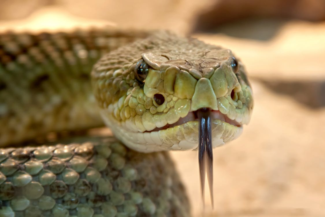 A close up of a rattlesnake with its tongue out.