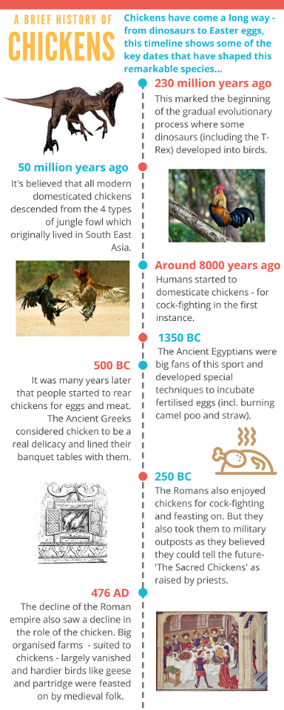 A BRIEF HISTORY OF CHICKENS Chickens have come a long way - from dinosaurs to Easter eggs, this timeline shows some of the key dates that have shaped this remarkable species... 230 million years ago This marked the beginning of the gradual evolutionary process where some dinosaurs (including the T-Rex) developed into birds. 50 million years ago It's believed that all modern domesticated chickens descended from the 4 types of jungle fowl which originally lived in South East Asia. Around 8000 years ago Humans started to domesticate chickens - for cock-fighting in the first instance. 1350 BC The Ancient Egyptians were big fans of this sport and developed special techniques to incubate fertilised eggs (incl. burning camel poo and straw). 500 BC It was many years later that people started to rear chickens for eggs and meat. The Ancient Greeks considered chicken to be a real delicacy and lined their banquet tables with them. 250 BC The Romans also enjoyed chickens for cock-fighting and feasting on. But they also took them to military outposts as they believed they could tell the future- 'The Sacred Chickens' as raised by priests. 476 AD The decline of the Roman empire also saw a decline in the role of the chicken. Big organised farms  - suited to chickens - largely vanished and hardier birds like geese and partridge were feasted on by medieval folk.